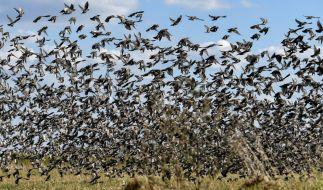 Ein mysteriöses Vogelsterben beschäftigt Forscher in den USA. (Foto)