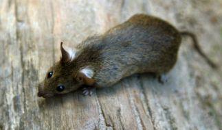Die angespülte Riesen-Ratte war um einiges größer als dieses süße Exemplar. (Foto)