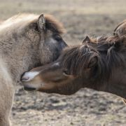 Abartig! Aufgeschlitztes Pferd zum Sterben zurückgelassen (Foto)