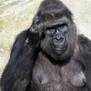 Gorilla-Attacke! 200-Kilo-Monster zermalmt Pflegerin (46) (Foto)