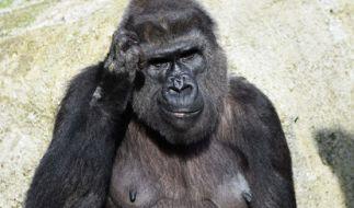 Ein Gorilla hat einen Pfleger im Zoo attackiert. (Foto)