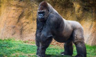 Ein Gorilla hat eine Tierpflegerin in Madrid angegriffen. (Foto)