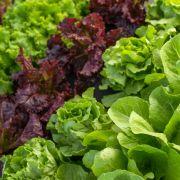 Mit Bakterien verseucht! Edeka und Marktkauf rufen Salat zurück (Foto)