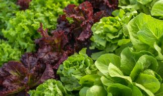 Salat-Rückruf bei Edeka und Marktkauf. (Foto)