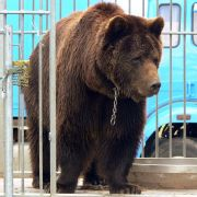 Kopfhaut abgerissen! Bär zerfetzt Tierpfleger (28) - tot (Foto)