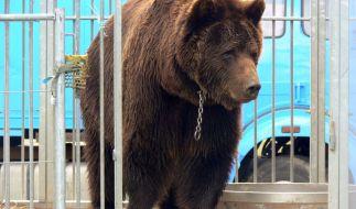 Das undatierte Foto zeigt den Bär Ben in einem Zirkus-Käfig. Das Tier war einer der letzten Zirkusbären in Deutschland. (Foto)