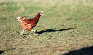 Ein 37 Jahre alter Mann aus England filmte sich beim Sex mit Hühnern und missbrauchte die Tiere zu Tode - jetzt muss der Tierquäler ins Gefängnis (Symbolbild). (Foto)