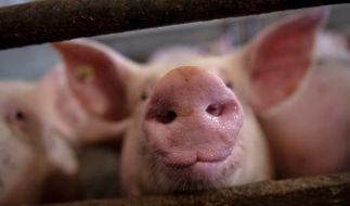 Das bei Schweinen isolierte Coronavirus vom Typ Sads-CoV könnte auch für Menschen gefährlich werden (Symbolbild). (Foto)
