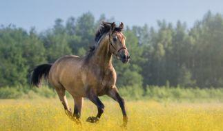 In Österreich wurde ein Mädchen von einem Pferd tödlich am Kopf verletzt. (Symbolfoto) (Foto)