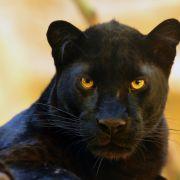 Kopfhaut zerfetzt! Mann zahlt 150 Dollar, um mit Panther zu kuscheln (Foto)