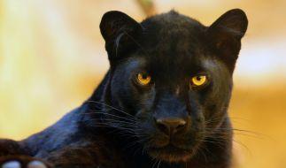 In den USA hat ein Panther einem Mann die Kopfhaut zerrissen. (Foto)