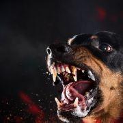 Rottweiler zerfleischt einen Tag altes Baby (Foto)