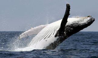 Ein riesiger Buckelwal hätte an der kalifornischen Küste beinahe zwei Wassersportlerinnen verschlungen (Symbolbild). (Foto)