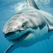 Ein 50-jähriger Australier ist am Wochenende bei einem Haiangriff ums Leben gekommen.