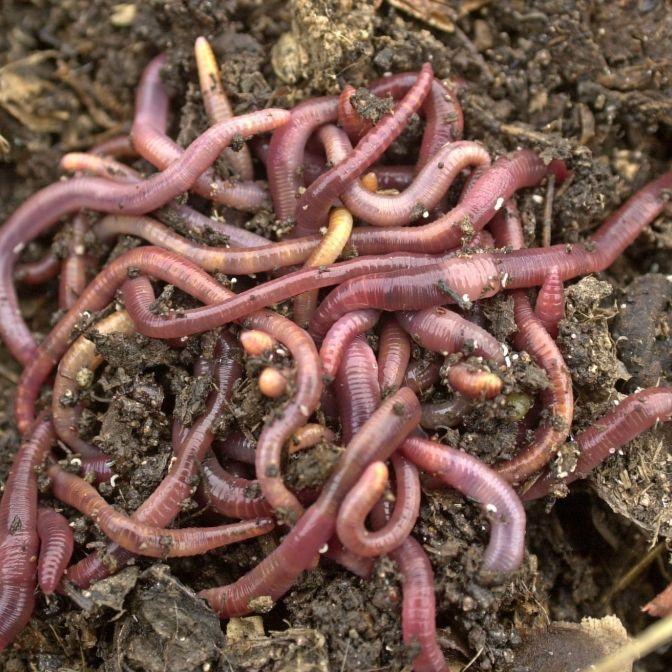 Horror-Video! Würmer kriechen durch Magen-Vene von Mann (20) (Foto)