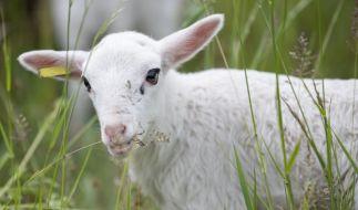 In der Türkei wurde ein mutiertes Zyklopen-Lamm geboren. (Foto)