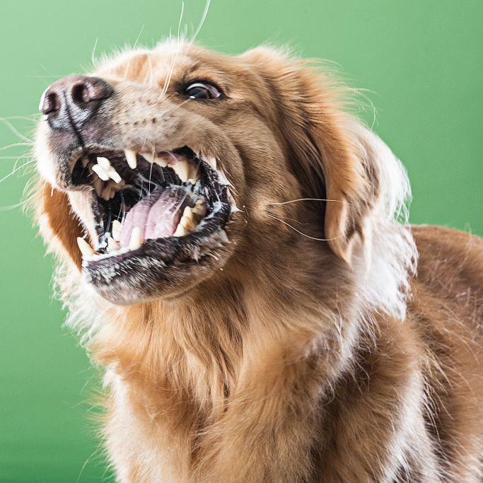 Beim Schlafen! Hund zerbeißt Frauchen das Gesicht (Foto)