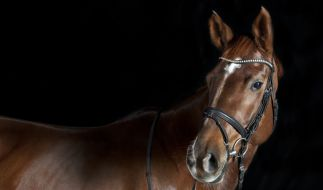 Tragödie bei den deutschen Reit-Meisterschaften: Ein Pferd verletzte sich bei einem Sturz so schwer, dass es eingeschläfert werden musste. (Foto)