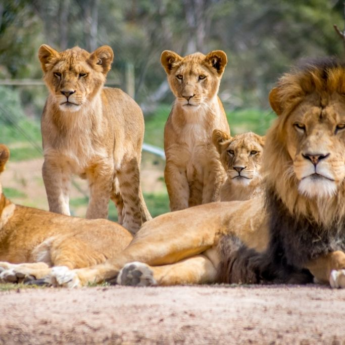 4 Löwen mit Corona infiziert - so geht es den Tieren (Foto)