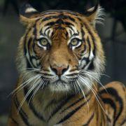 Tiger beißt Frau Hand ab (Foto)