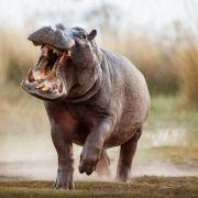 Nilpferd zerfleischt Besitzer (40) - TOT! (Foto)