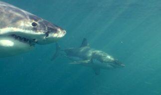 Undatierte Aufnahme zeigt einen Weißen Hai in den Gewässern vor der neuseeländischen Küste. (Foto)