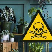 Einige Zimmerpflanzen können allergische Reaktionen oder sogar Vergiftungserscheinungen hervorrufen.