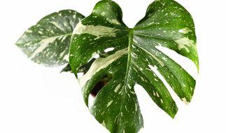 Manche Pflanzen kosten ein kleines Vermögen. (Foto)
