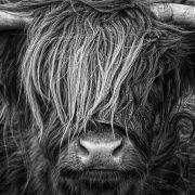 Rottweiler zerfleischt schwangere Kuh (Foto)