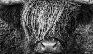 Ein Rottweiler hat eine schwangere schottische Hochlandkuh zerfleischt. (Symbolfoto) (Foto)