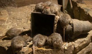 Eine gigantische Ratte hat ein schlafendes Kleinkind angeknabbert. (Foto)