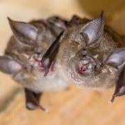 In 10 Jahre alte Proben! Corona-ähnliches Virus in Fledermäusen entdeckt (Foto)