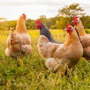 Perverser filmte Sex mit Hühnern! Strafe erheblich verkürzt (Foto)