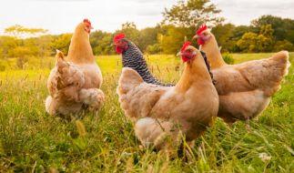 Obwohl er Geschlechtsverkehr mit Hühnern und Hunden hatte, wurde die Haftstrafe eines Perversen nun verkürzt. (Foto)