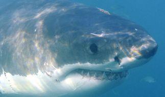 Ein Familienvater wurde von einem Weißen Hai tödlich verletzt. (Symbolfoto) (Foto)