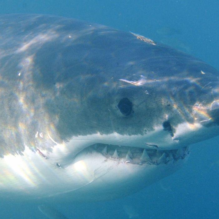 Tödlicher Strandausflug! Vater von Weißem Hai zerfetzt - TOT (Foto)