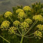Neues Wundermittel! Schützt DIESES Pflanzengift gegen Coronaviren? (Foto)