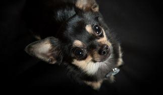 Der 19-Jährige schlitzte einen Chihuahua-Welpen auf. (Foto)