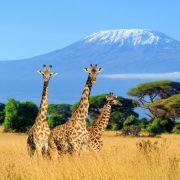 Giraffen verheddern sich in Stromleitung - sterben qualvoll (Foto)