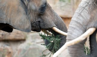 In Spanien hat ein Elefant einen Pfleger totgetrampelt. (Foto)