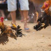 Verblutet! Hahn tötet Besitzer mit Messer (Foto)