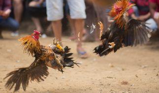 In Indien endete ein Hahnenkampf für einen Vogelbesitzer tödlich. (Foto)