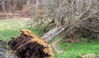 Ein Mann wurde von einem umstürzenden Baum erschlagen. (Symbolfoto) (Foto)