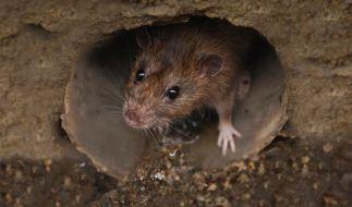 Manchester wird von einer Ratten-Invasion heimgesucht. (Foto)