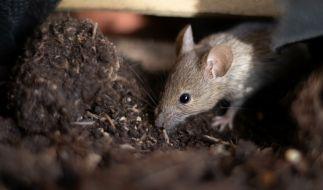Australien wird derzeit von einer Mäuse-Plage heimgesucht. (Foto)