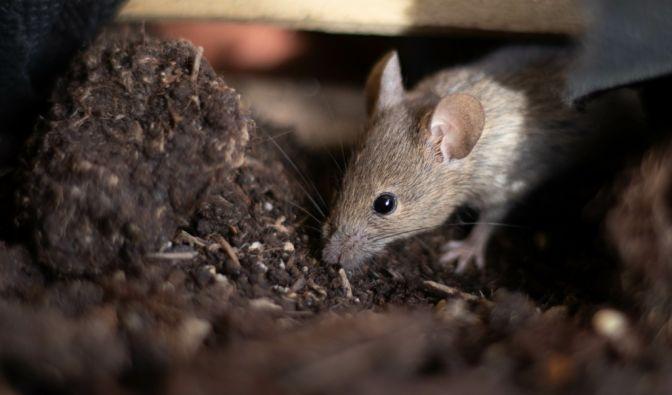 Mäuse-Terror in Australien