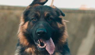 Ein Mädchen kam in Russland beim Gassigehen mit ihren Hunden zu Tode. (Foto)