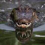 Schock-Aufnahmen! Riesen-Krokodil verschlingt Hai im Ganzen (Foto)