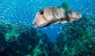 Hunderte tote Kugelfische wurden in Südafrika an einen Strand gespült. (Foto)