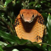 Forscher behaupten: Menschen bald so giftig wie Schlangen! (Foto)